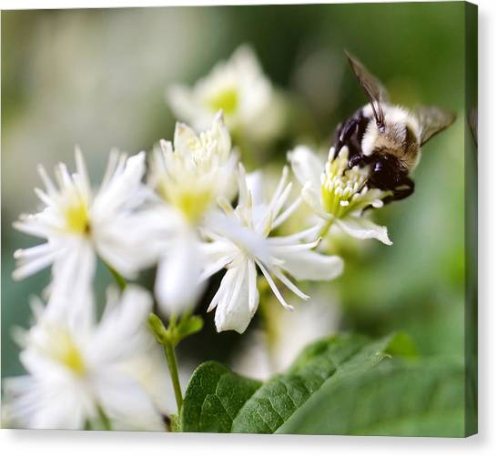 Bumble Bee On Clematis Canvas Print by Ginger Wagner