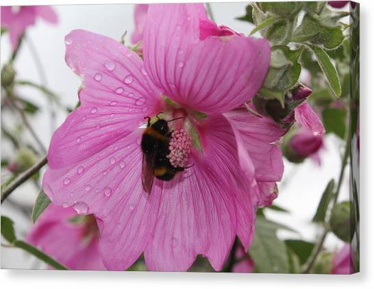Bumble Bee On Lavatera Canvas Print