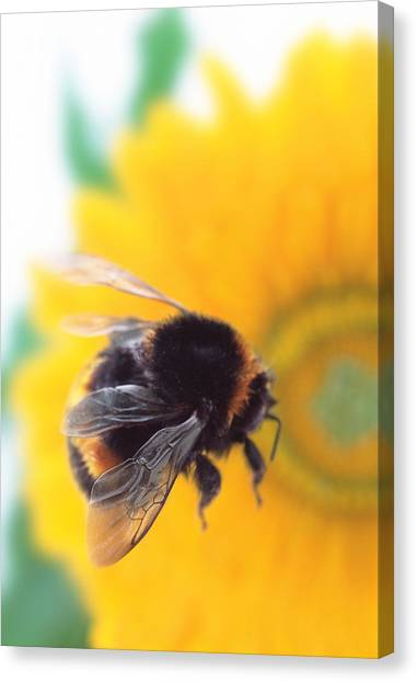 Pollinator Canvas Print - Bumble Bee With Flower by Gustoimages/science Photo Library