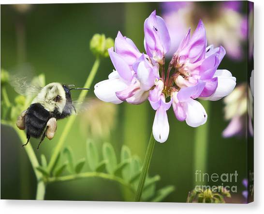 Bumble Bee With Pollen Basket Canvas Print by Ricky L Jones