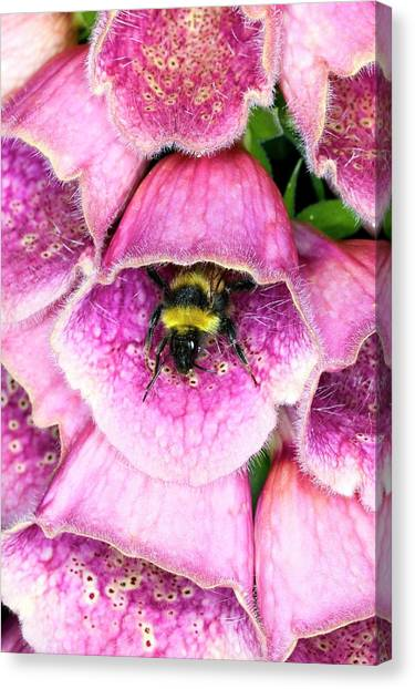 Bumblebee And Foxglove Hybrid Canvas Print by Dr Jeremy Burgess/science Photo Library