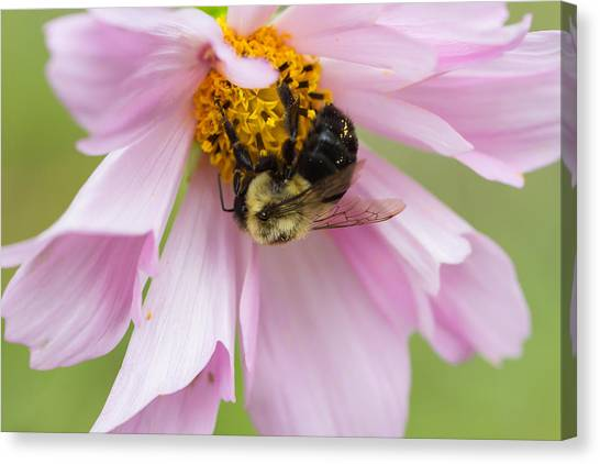 Bumblebee On A Blossom Canvas Print