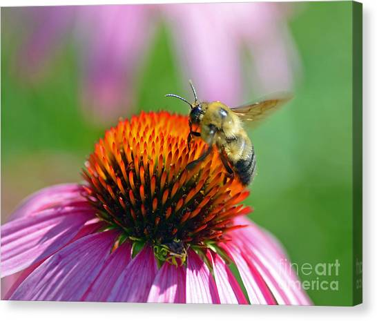 Bumblebee On A Coneflower Canvas Print