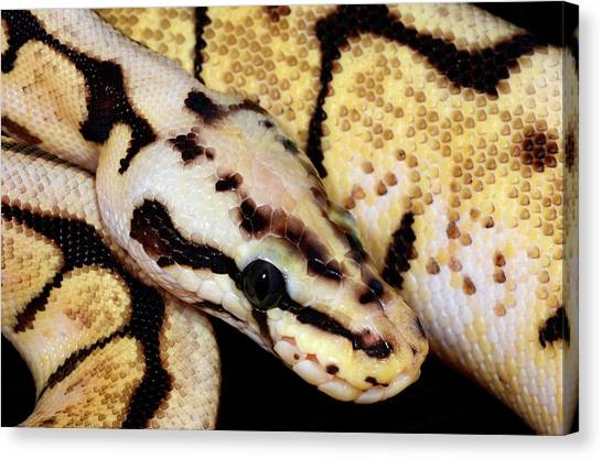 Ball Pythons Canvas Print - Bumblebee Royal Python by Nigel Downer