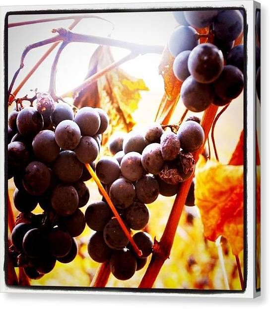 Vineyard Canvas Print - Bunches 3   by Justin Connor