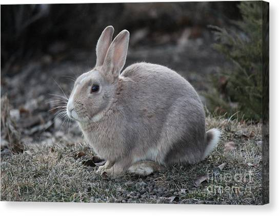 Canvas Print featuring the photograph Bunny by Ann E Robson