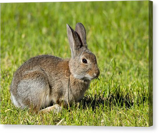 Black Rock Desert Canvas Print - Bunny Rabbit by Kathleen Bishop
