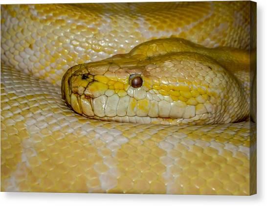 Burmese Pythons Canvas Print - Burmese Python by Ernie Echols