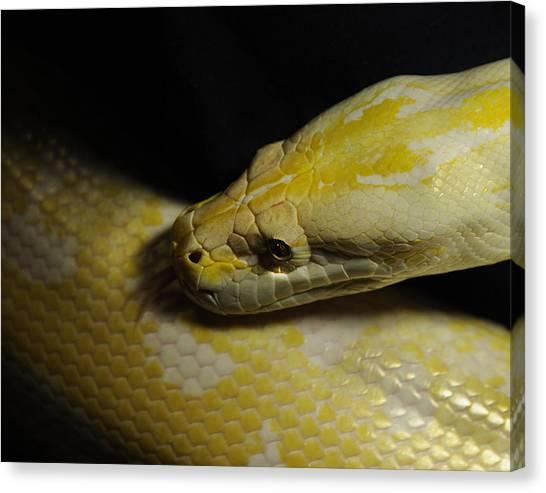 Burmese Pythons Canvas Print - Burmese Python by Keith Lovejoy