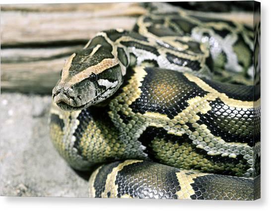 Burmese Pythons Canvas Print - Burmese Python Python Molurus by John Mitchell