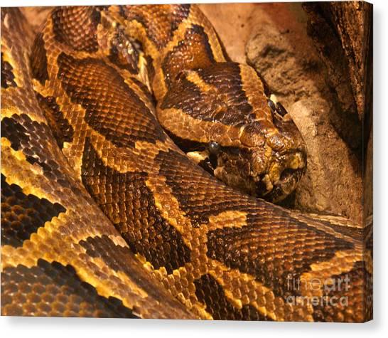 Burmese Pythons Canvas Print - Burmese Python by Robert Edgar