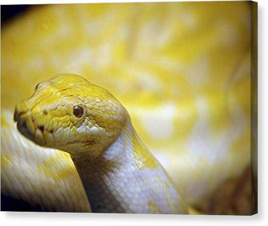 Burmese Pythons Canvas Print - Burmese Python by Scott Staley