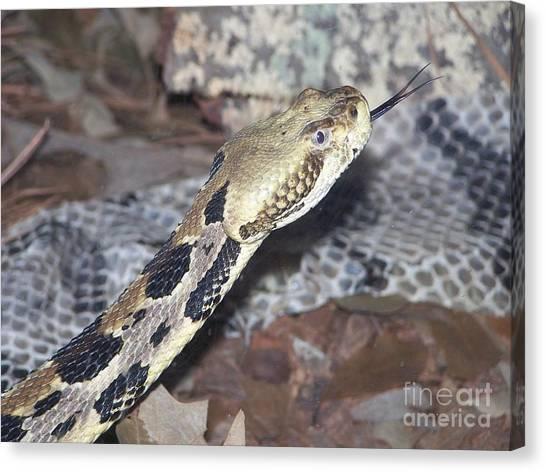 Burmese Pythons Canvas Print - Burmese Python by Stephanie Smith