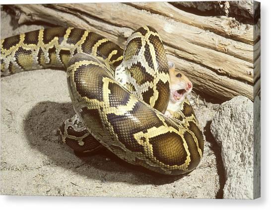 Burmese Pythons Canvas Print - Burmese Python With Prey by John Mitchell