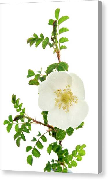 Burnet Rose (rosa Pimpinellifolia) Canvas Print by Duncan Shaw/science Photo Library