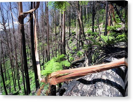 Global Warming Canvas Print - Burnt Forest Near Marysville by Ashley Cooper