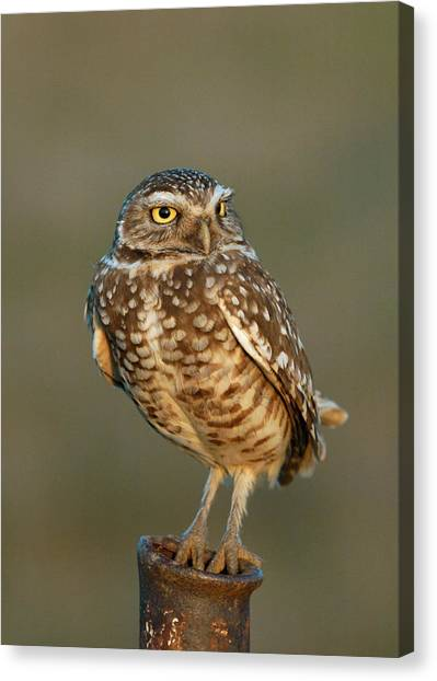 Burrowing Owl At Sunset Canvas Print