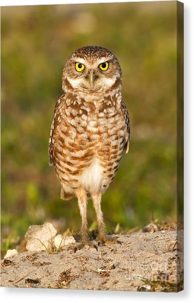 Burrowing Owl Canvas Print by Joshua Clark
