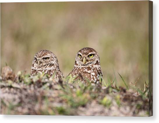 Burrowing Owls Canvas Print by Brian Magnier