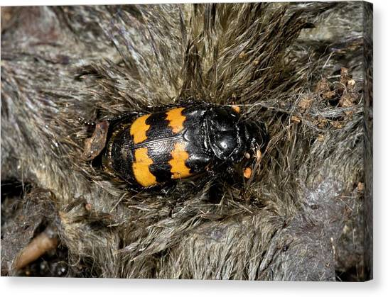 Carcass Canvas Print - Burying Beetle On A Dead Mole by Bob Gibbons