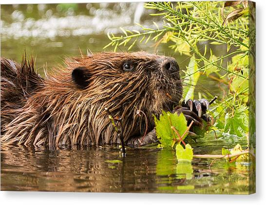 Beavers Canvas Print - Busy As A Beaver by Everet Regal