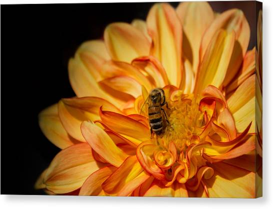 Busy Bee Dahlia Canvas Print