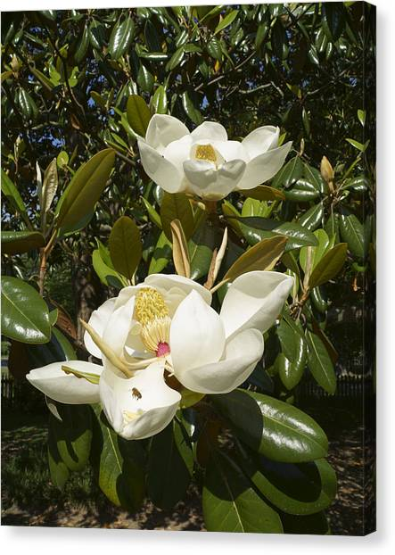 Busy Bee In A Magnolia Blossom 2 Canvas Print