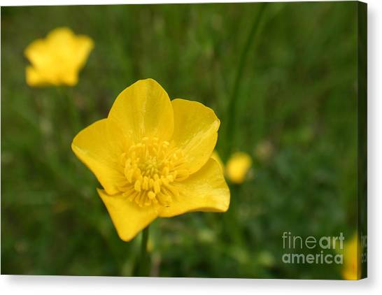 Buttercup Collection Photo 2 Canvas Print