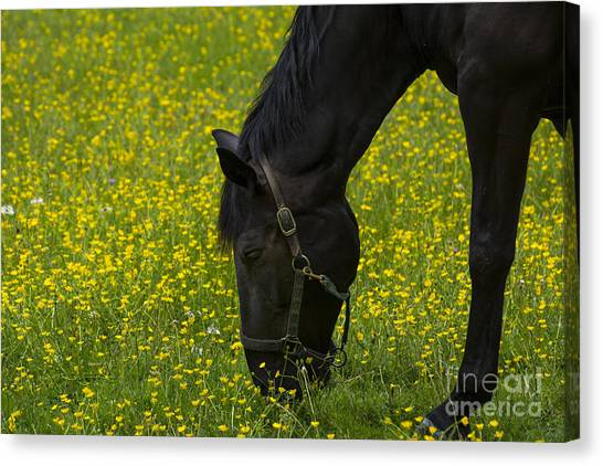 Buttercup Food Canvas Print