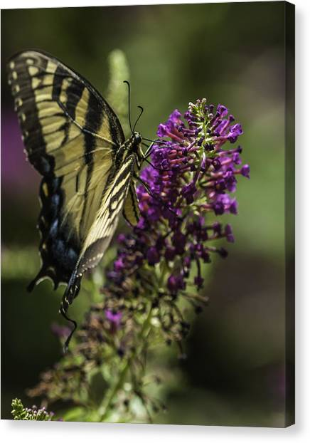 Butterflies Along The Blue Ridge Canvas Print