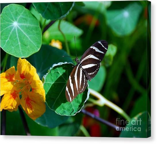 Butterflies Are Free Canvas Print by Mel Steinhauer