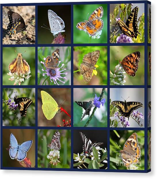 Sulfur Butterfly Canvas Print - Butterflies Squares Collage by Carol Groenen