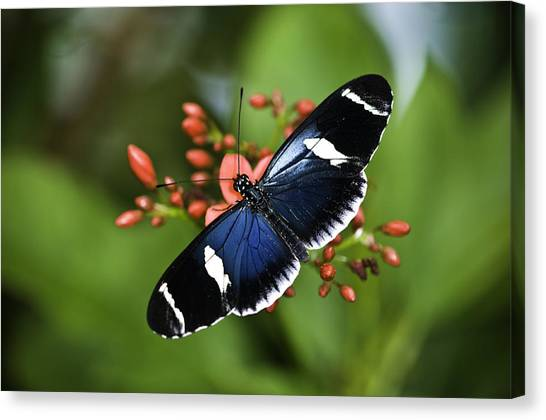 Butterfly 0002 Canvas Print