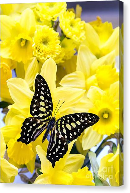 Daffodils Canvas Print - Butterfly Among The Daffodils by Edward Fielding