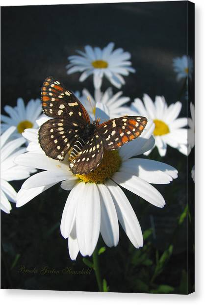 Butterfly And Shasta Daisy - Nature Photography Canvas Print