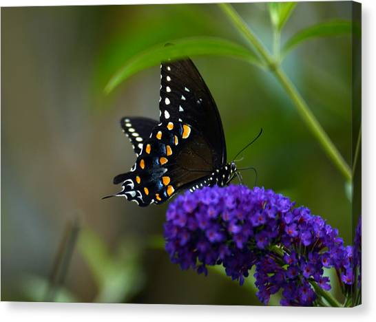 Butterfly Atttaction Canvas Print