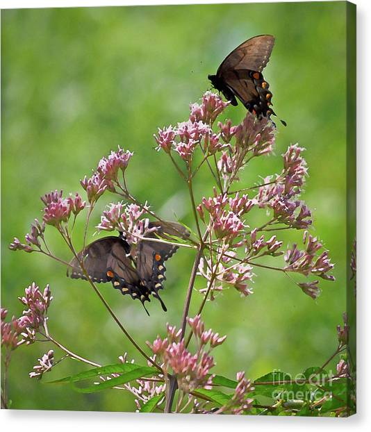 Butterfly Duet  Canvas Print