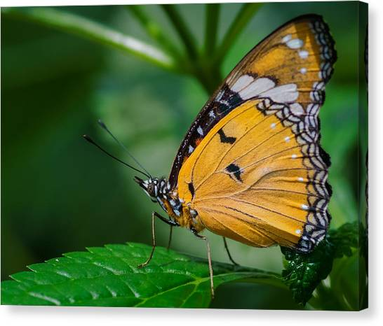Canvas Print featuring the photograph Butterfly  by Garvin Hunter