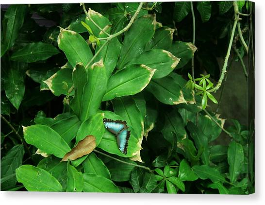 Butterfly In Rain Forest Canvas Print