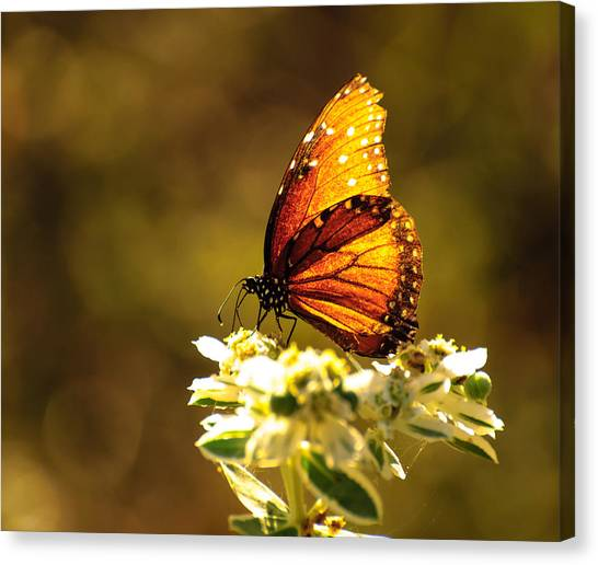 Butterfly In Sun Canvas Print