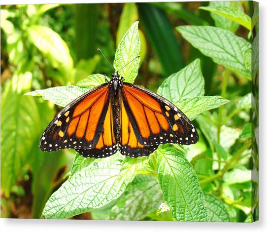 Butterfly In The Plants Canvas Print by Van Ness