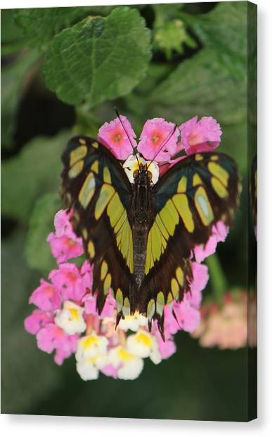 Butterfly Of Love Canvas Print