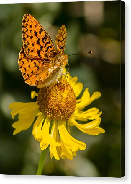 Butterfly On Daisy Canvas Print