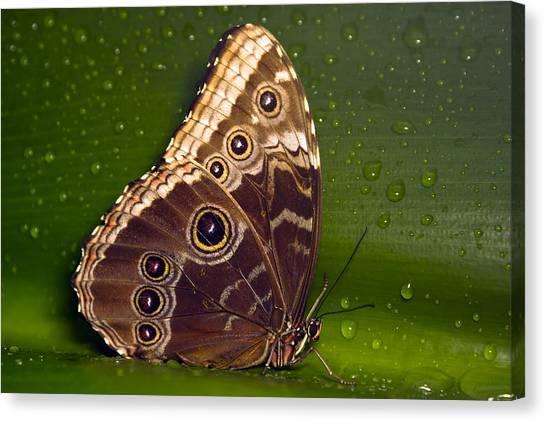 Butterfly On Green  Canvas Print by Sebastiaan Bosma