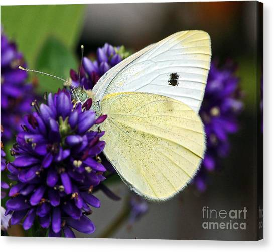 Butterfly On Hebe Canvas Print