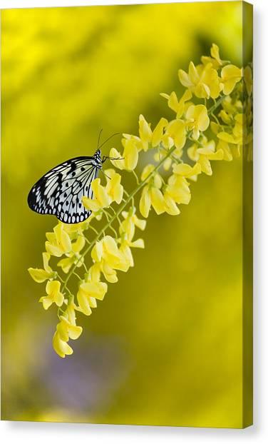 Butterfly On Laburnum Canvas Print