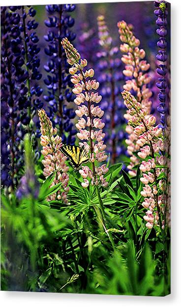 Butterfly On Lupine Canvas Print