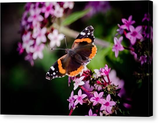 It Professional Canvas Print - Butterfly On Penta by Renee Barnes