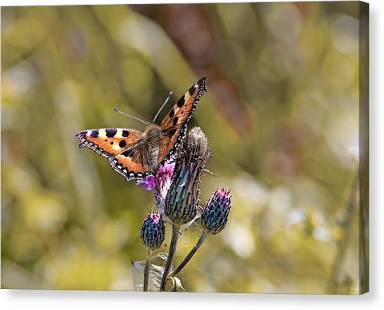 Butterfly On Tistle Sep Canvas Print