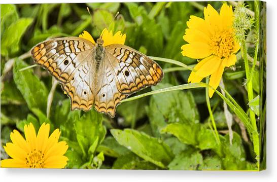 Anartia Jatrophae Canvas Print - Butterfly On Yellow Flower by Don Durfee